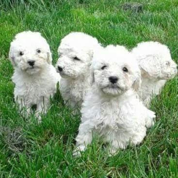 Bolognesi bellissimi, i preferiti di Lidia, ma non lo dite agli altri cuccioli...