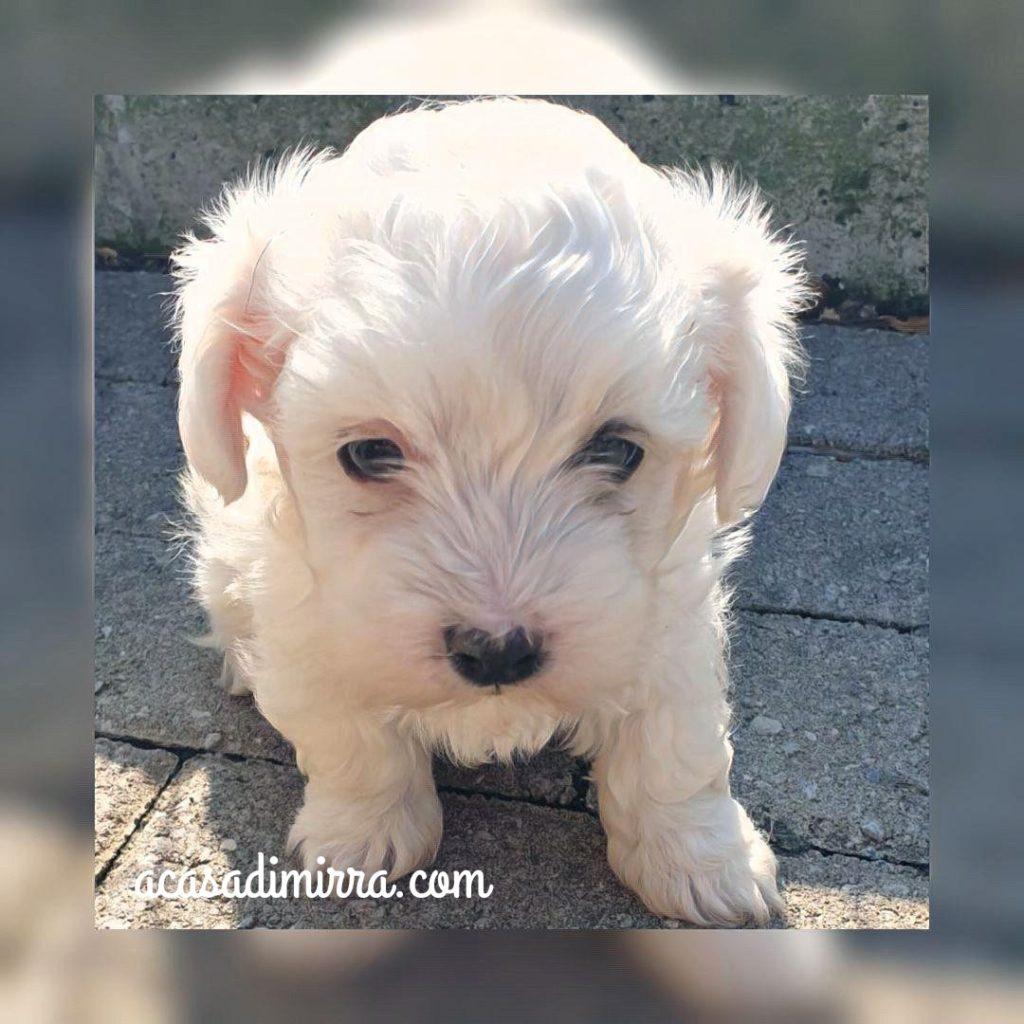 cucciolo di maltese garantito italiano
