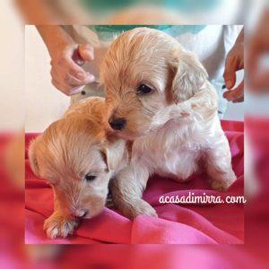 cuccioli di Maltipoo