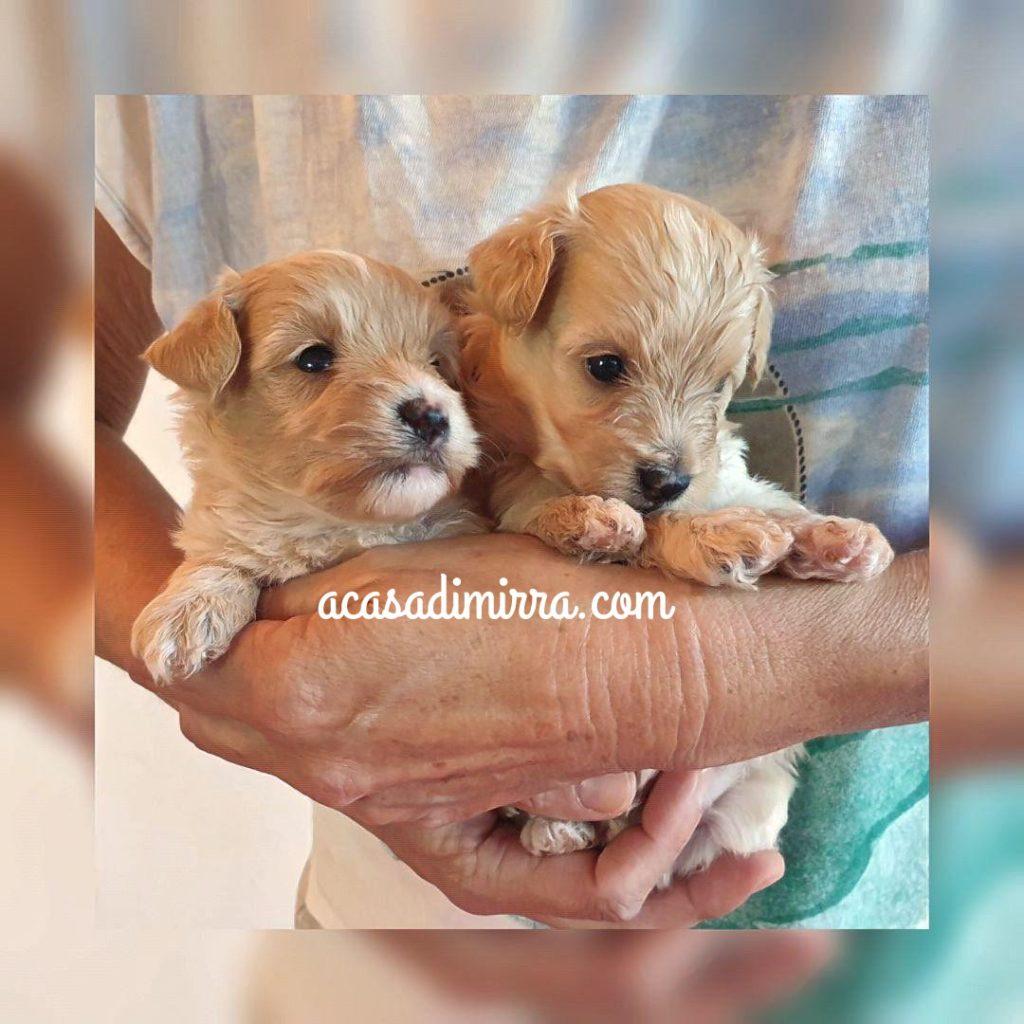 Maltipoo cuccioli