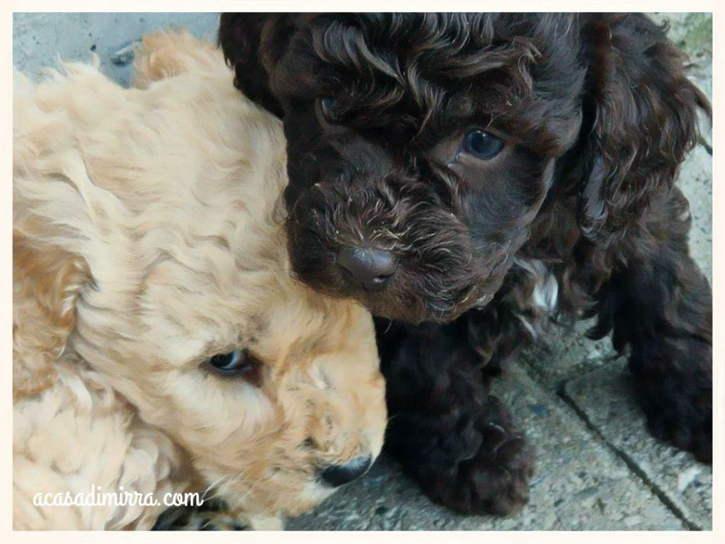 Questi sono i cuccioli dell'ultima cucciolata di Barboncini Nano